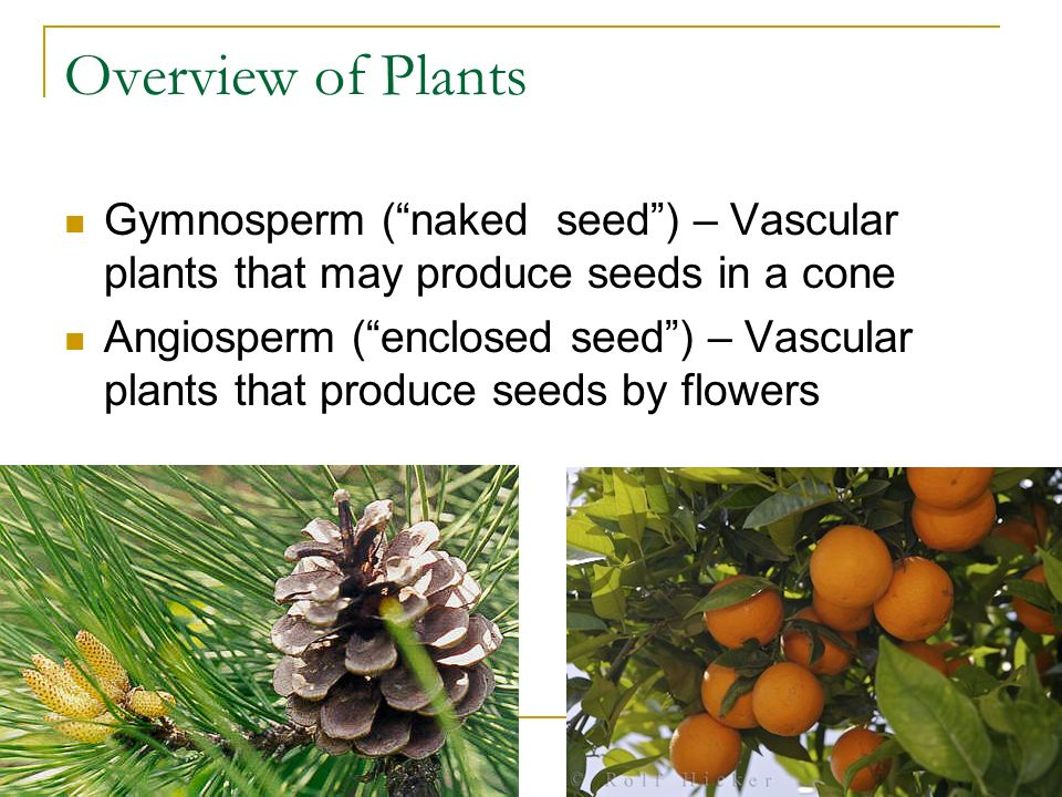 Overview of Plants Gymnosperm ( naked seed ) – Vascular plants that may produce seeds in a cone Angiosperm ( enclosed seed ) – Vascular plants that produce seeds by flowers