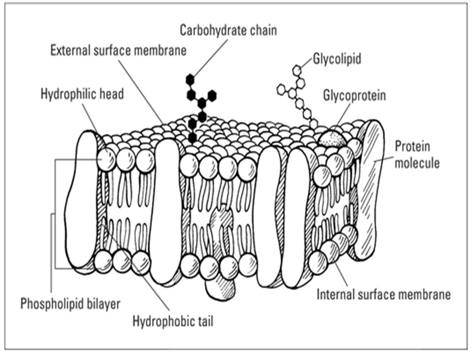 Aim: What is the anatomy and function of the cell membrane ...