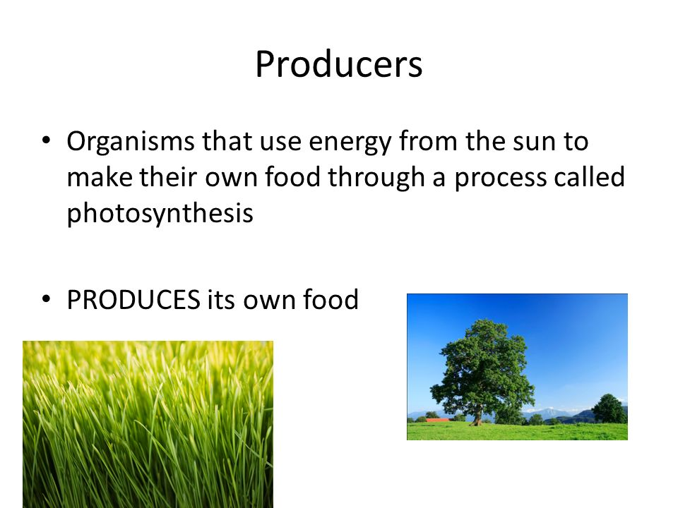 Producers Organisms that use energy from the sun to make their own food through a process called photosynthesis PRODUCES its own food