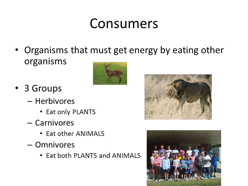 Consumers Organisms that must get energy by eating other organisms 3 Groups – Herbivores Eat only PLANTS – Carnivores Eat other ANIMALS – Omnivores Eat both PLANTS and ANIMALS