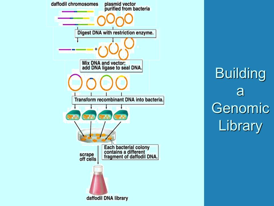 Building a Genomic Library