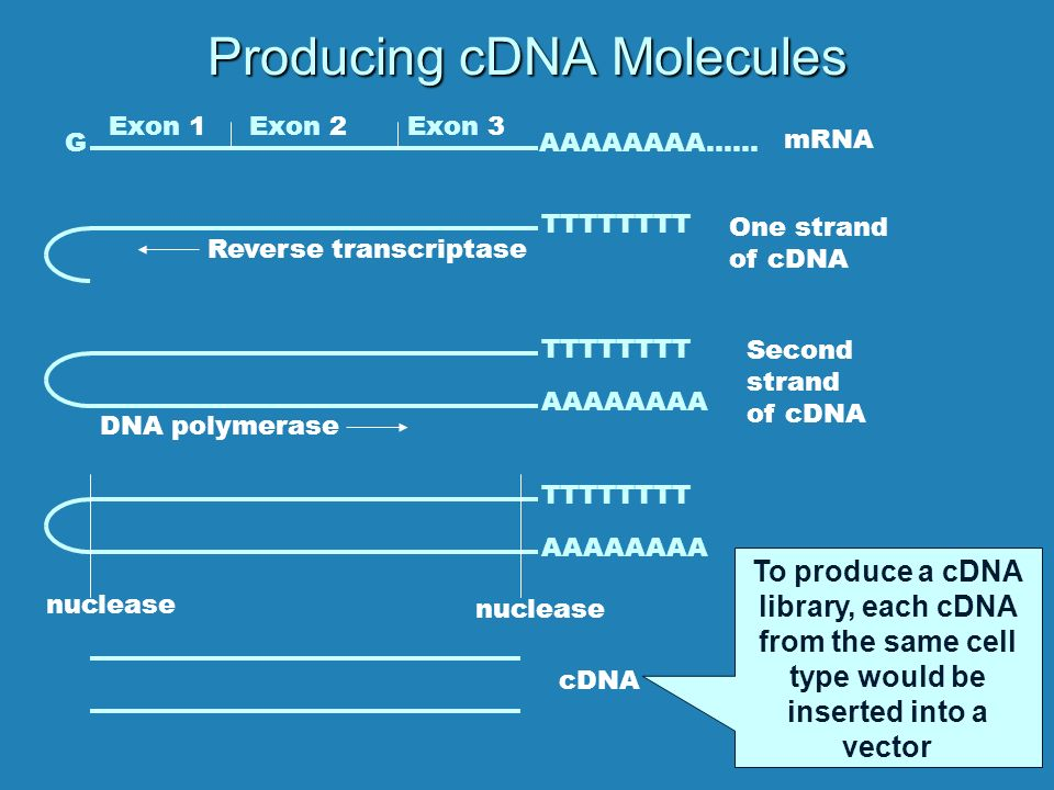 Producing cDNA Molecules TTTTTTTT Exon 1Exon 2Exon 3 GAAAAAAAA…… mRNA Reverse transcriptase One strand of cDNA TTTTTTTT AAAAAAAA DNA polymerase TTTTTTTT AAAAAAAA Second strand of cDNA nuclease cDNA To produce a cDNA library, each cDNA from the same cell type would be inserted into a vector