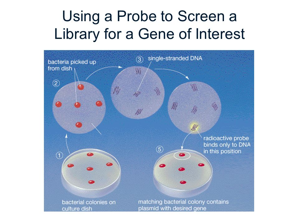 Using a Probe to Screen a Library for a Gene of Interest