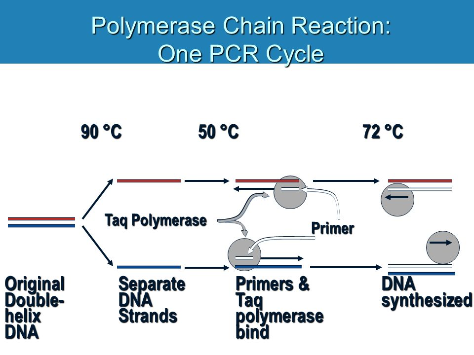 Polymerase Chain Reaction: One PCR Cycle Original Double- helix DNA Separate DNA Strands 90 °C Primers & Taq polymerase bind 50 °C Taq Polymerase Primer 72 °C DNA synthesized