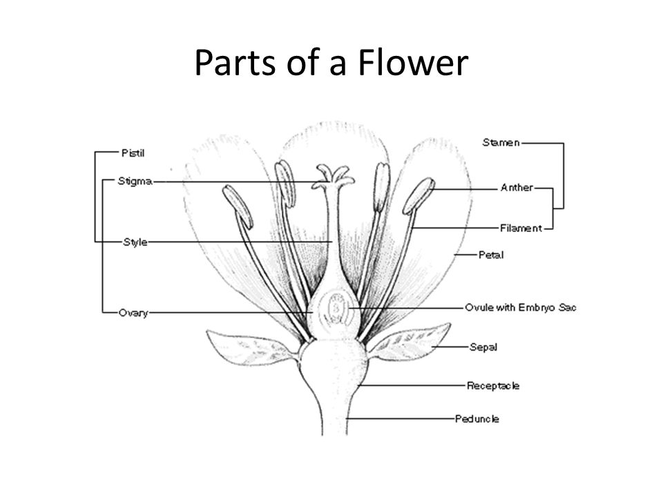 Parts of a flower 5 th grade parts of a flower ppt download 5 ccuart Image collections