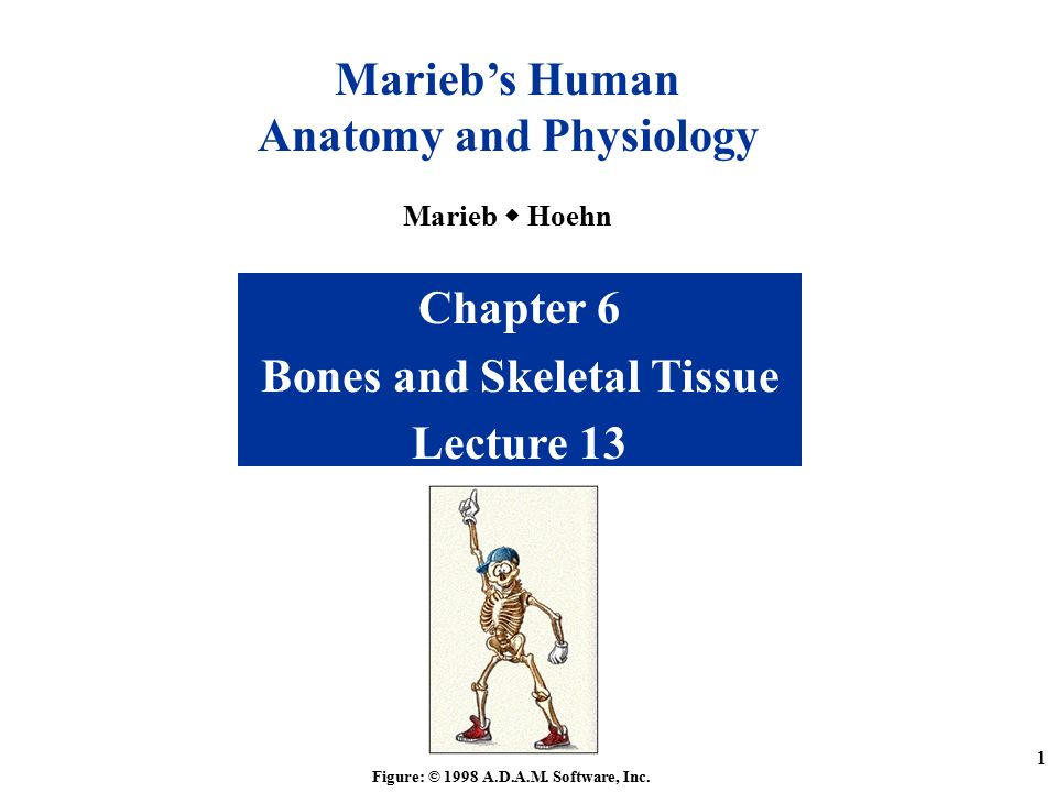 1 Chapter 6 Bones And Skeletal Tissue Lecture 13 Figure 1998