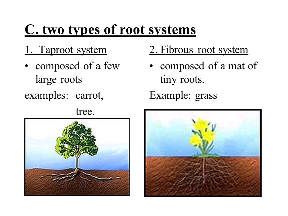 C. two types of root systems 1.
