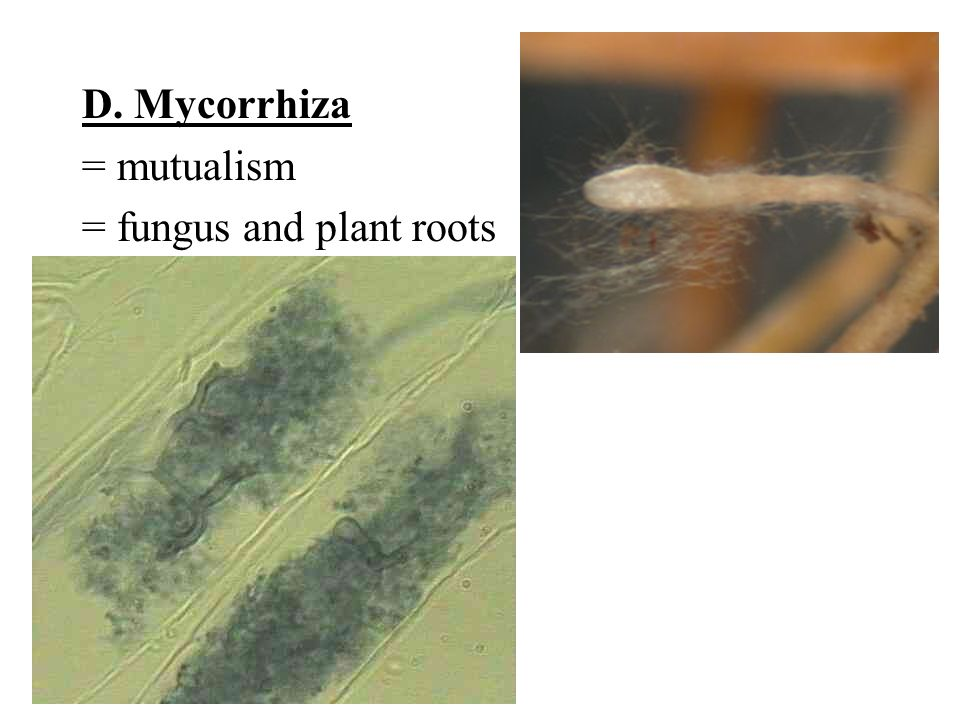 D. Mycorrhiza = mutualism = fungus and plant roots