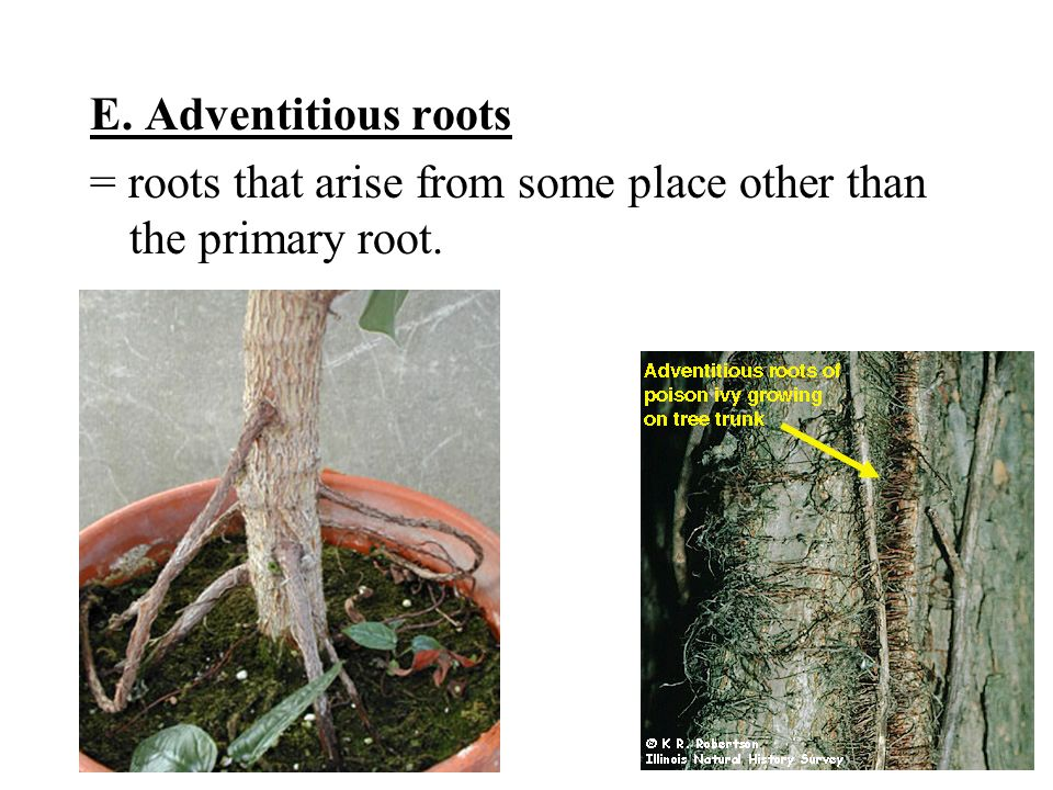 E. Adventitious roots = roots that arise from some place other than the primary root.