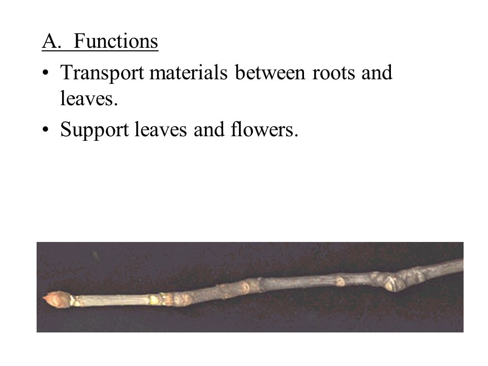 A. Functions Transport materials between roots and leaves. Support leaves and flowers.