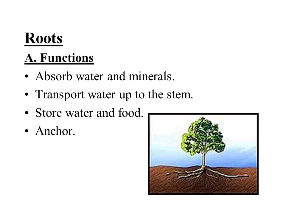 Roots A. Functions Absorb water and minerals. Transport water up to the stem.