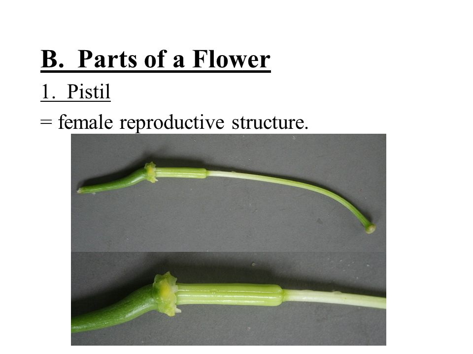 B. Parts of a Flower 1. Pistil = female reproductive structure.