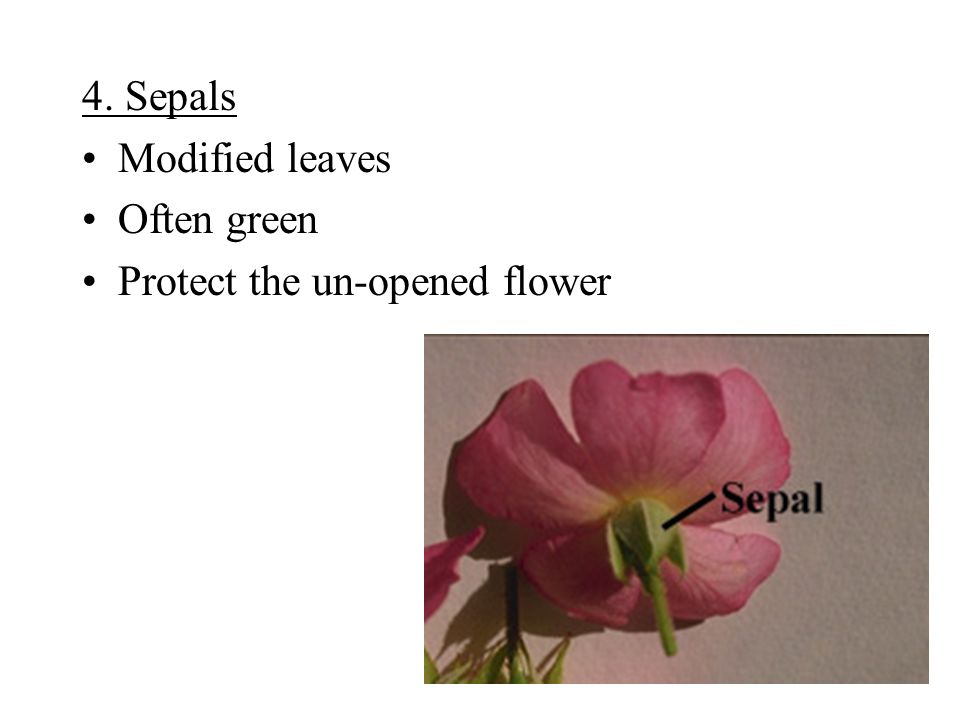 4. Sepals Modified leaves Often green Protect the un-opened flower