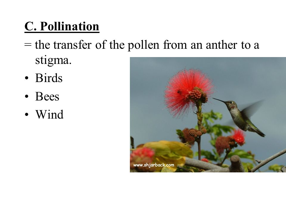 C. Pollination = the transfer of the pollen from an anther to a stigma. Birds Bees Wind