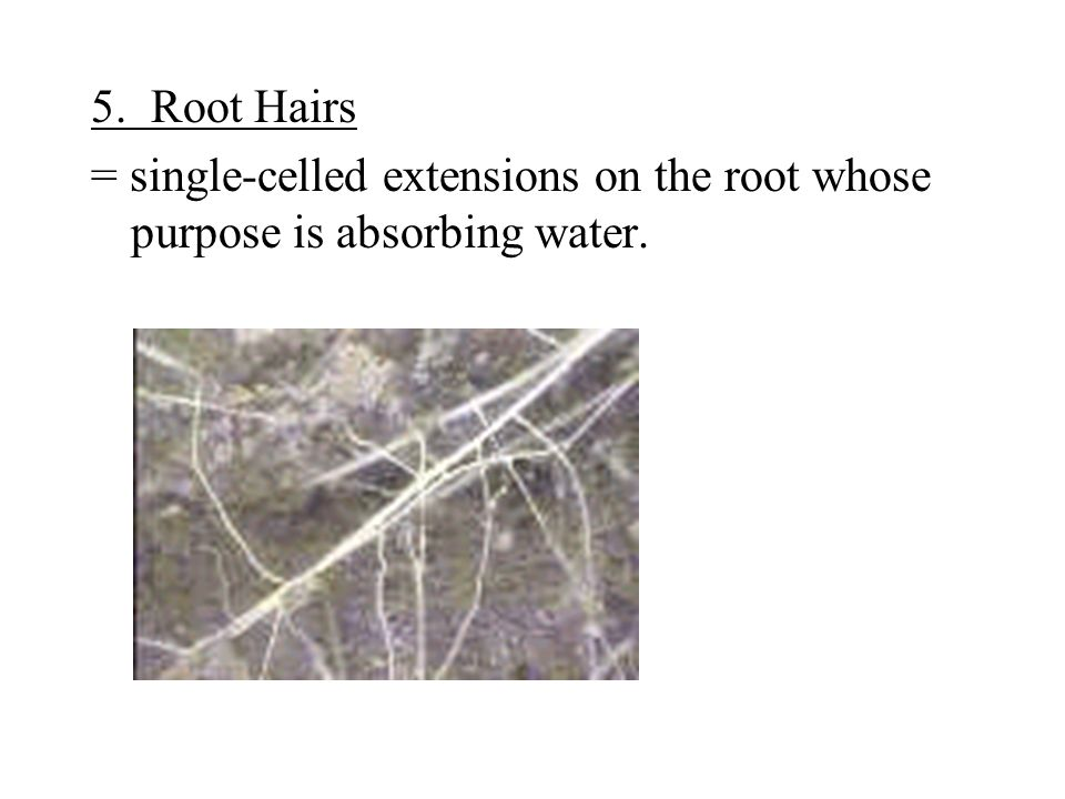 5. Root Hairs = single-celled extensions on the root whose purpose is absorbing water.