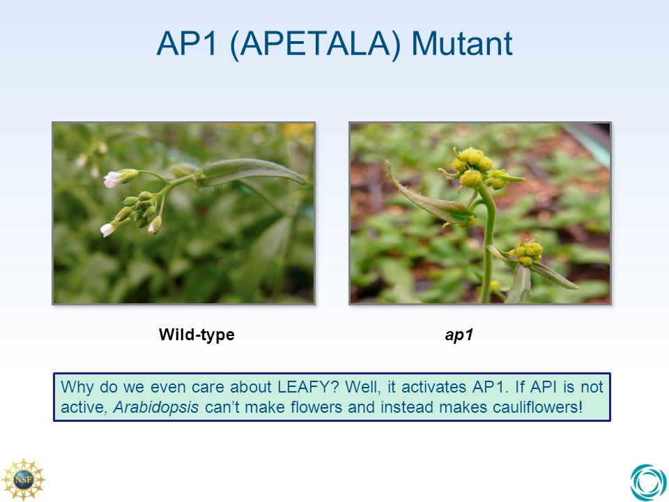 AP1 (APETALA) Mutant Why do we even care about LEAFY.