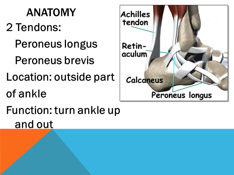"PERONEAL TENDINOPATHY ""My Painful Ankle!"". PERONEAL TENDONS: CONNECT ..."