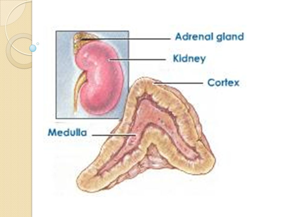 Adrenal gland. ? What is the adrenal gland The adrenal glands (also ...