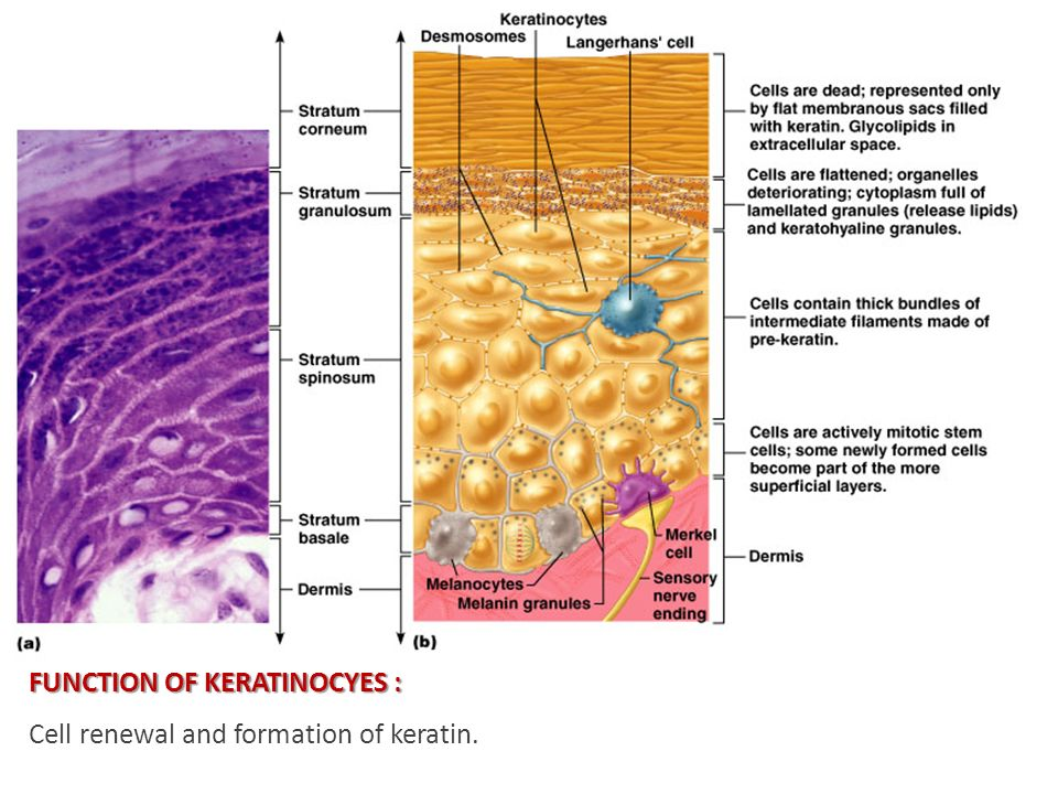 FUNCTION OF KERATINOCYES : FUNCTION OF KERATINOCYES : Cell renewal and formation of keratin.