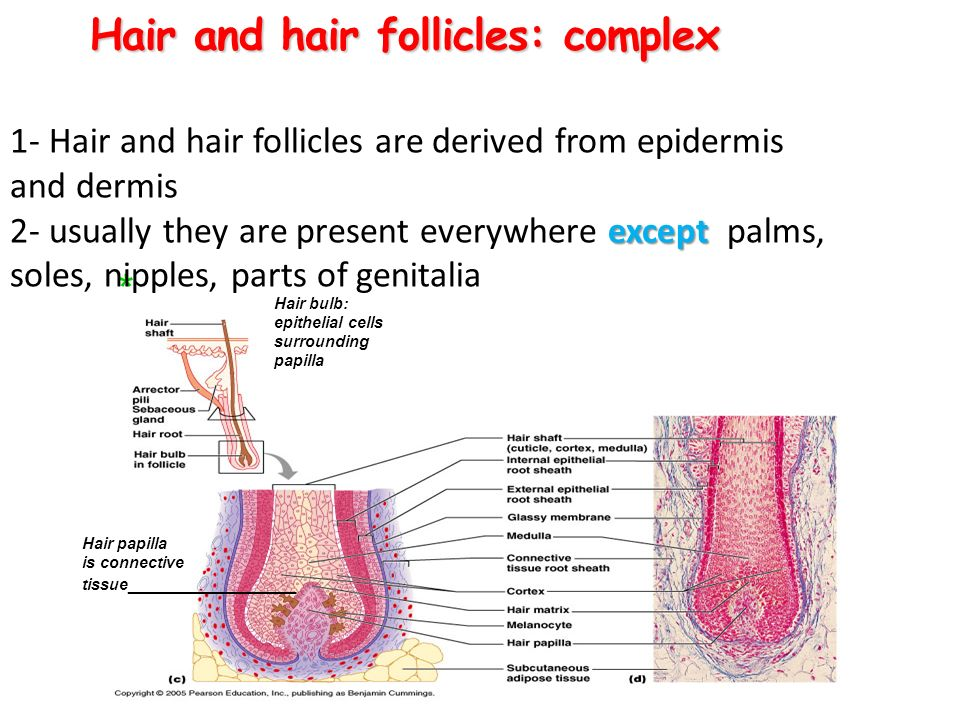 Hair and hair follicles: complex * Hair papilla is connective tissue ________________ Hair bulb: epithelial cells surrounding papilla except 1- Hair and hair follicles are derived from epidermis and dermis 2- usually they are present everywhere except palms, soles, nipples, parts of genitalia