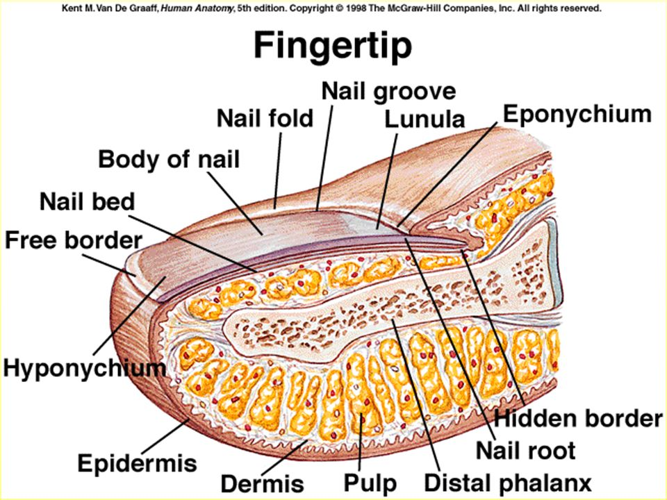 Attractive Nail Bed Anatomy Composition Nail Art Design Ideas