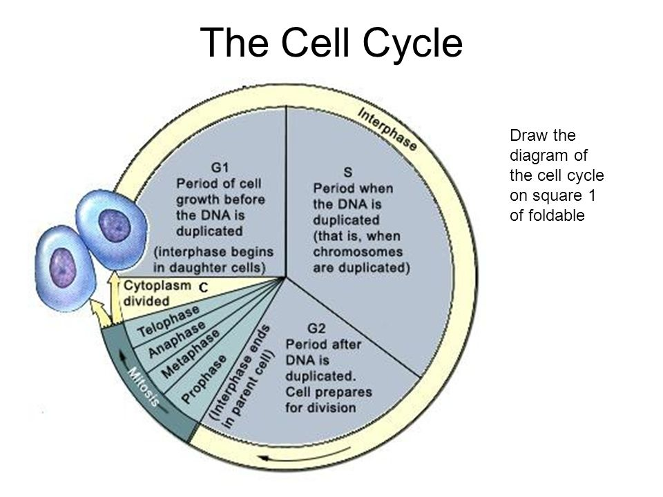 Cell size phases and division surface area to volume ratio 61 41 12 the cell cycle draw the diagram of the cell cycle on square 1 of foldable ccuart Images