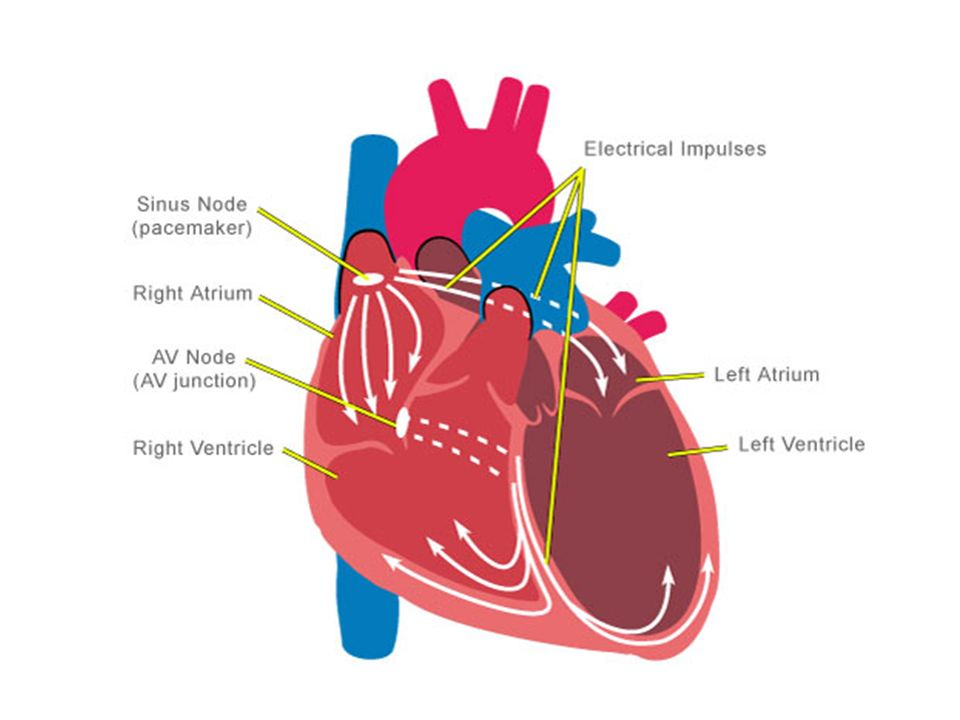 Warm up draw the human heart and the main blood vessels inout of 7 electrocardiogram ccuart Images