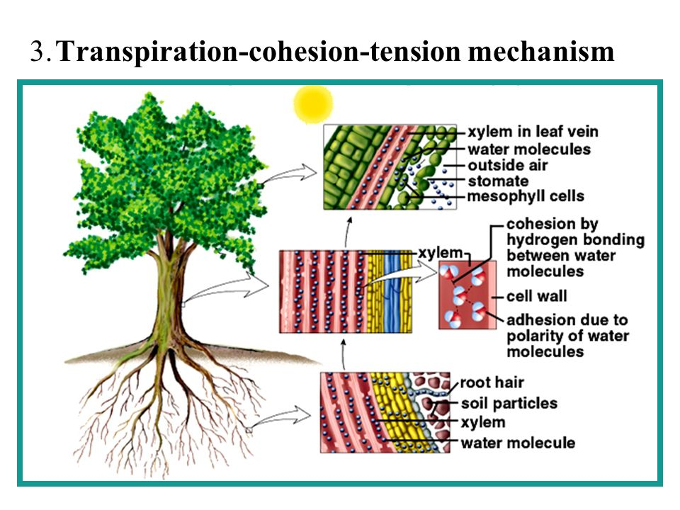 transpiration cohesion tension mechanism