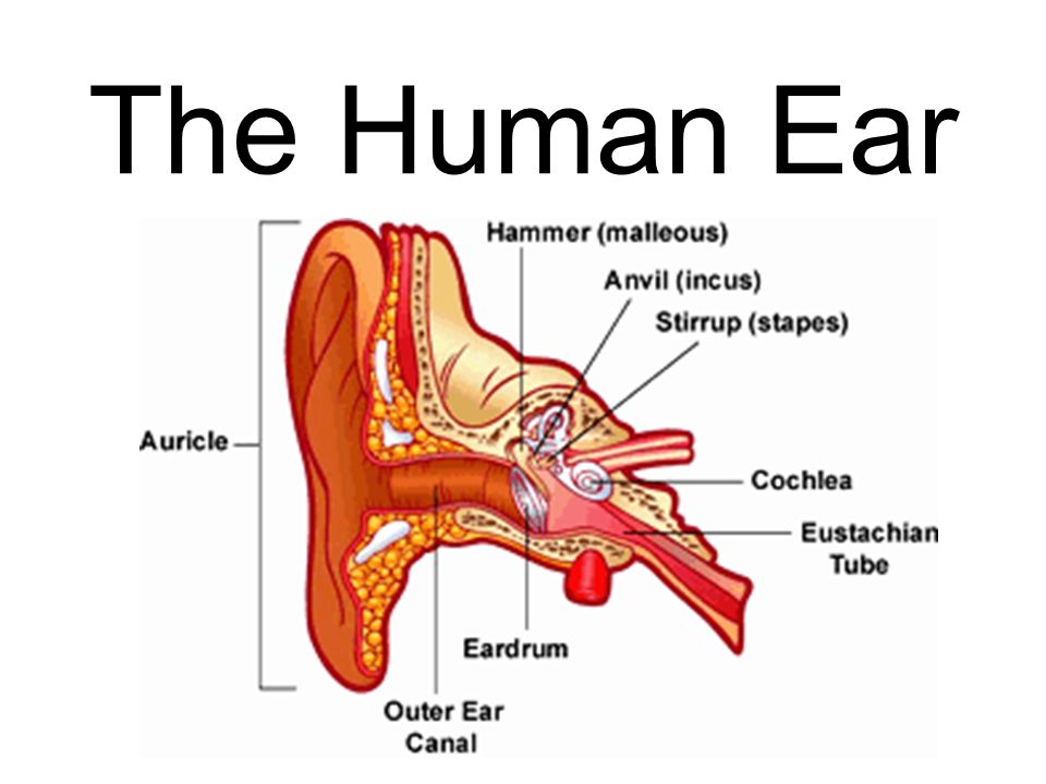 Parts Of The Ear >> The Human Ear Main Parts Of The Ear Outer Ear Middle Ear Inner Ear