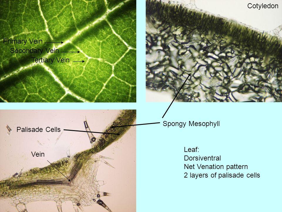 Cucurbita (Squash) Plant Anatomy James Craig. Red Warty Thing ...