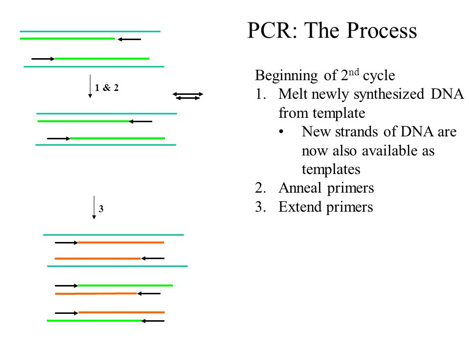 Polymerase Chain Reaction. PCR Repetitive amplification of a piece ...
