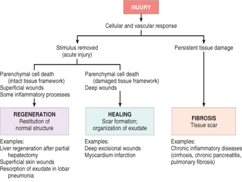 PATHOLOGY: WOUND HEALING- REGENERATION AND REPAIR  - ppt