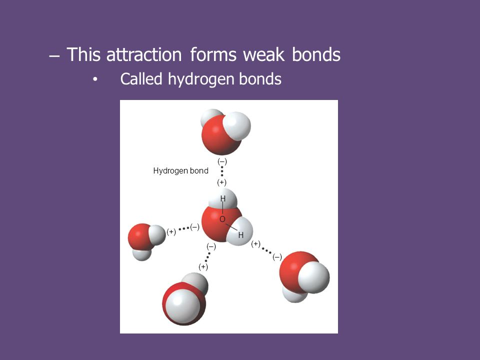 – This attraction forms weak bonds Called hydrogen bonds Hydrogen bond (+) H H (–) O