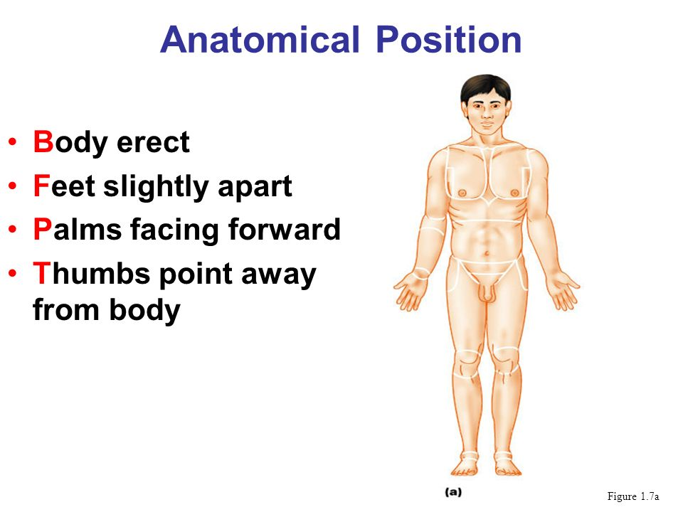 Anatomical Position Body erect Feet slightly apart Palms facing forward Thumbs point away from body Figure 1.7a