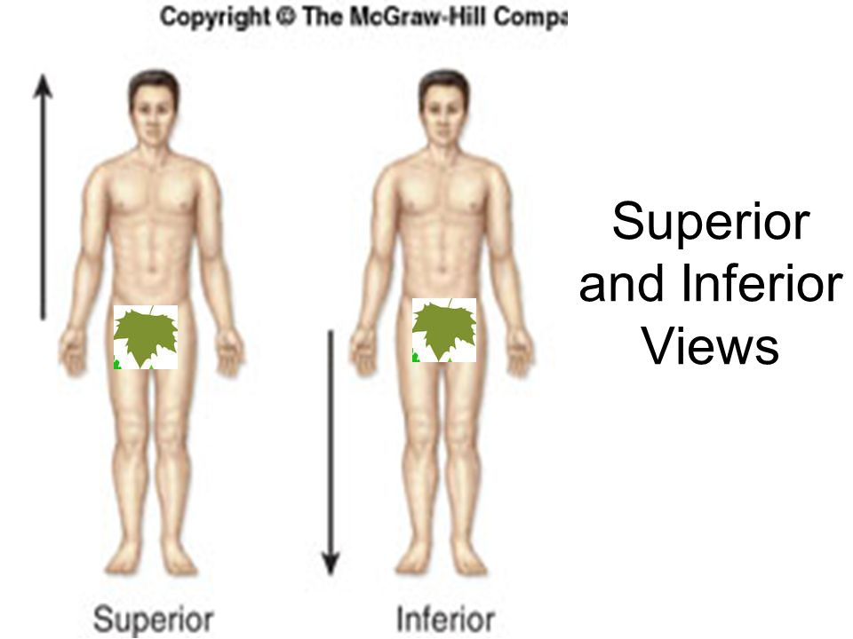 Superior and Inferior Views