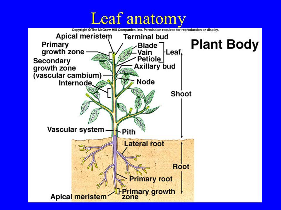 Leaf anatomy. Leaves start as outgrowths from apical meristem: leaf ...