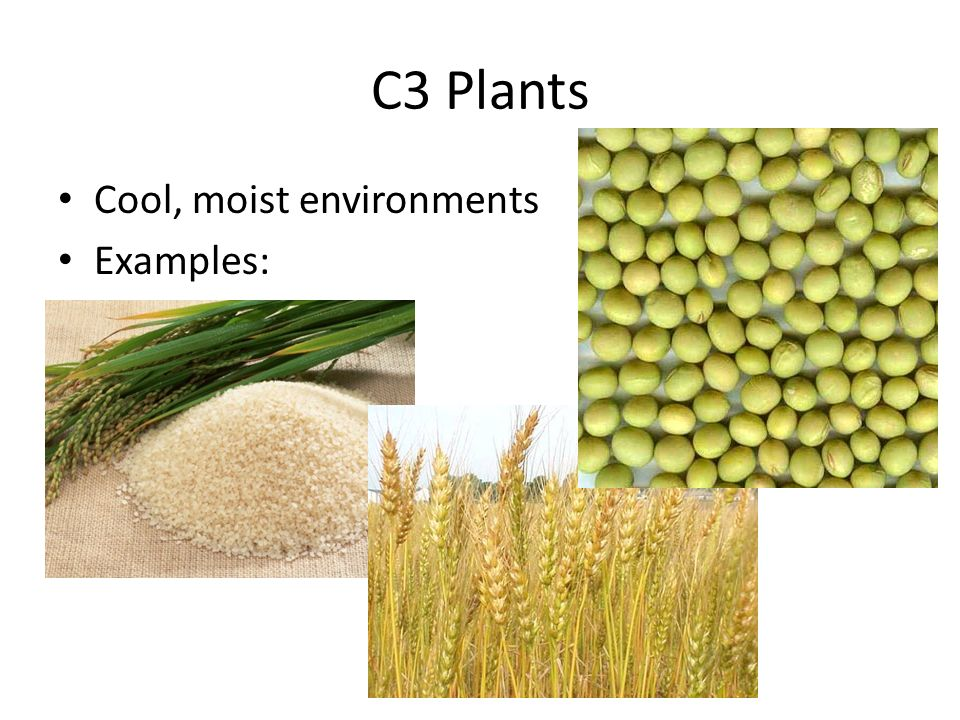 Photosynthesis Lesson 3 Plant Types Review In The Chemiosmotic