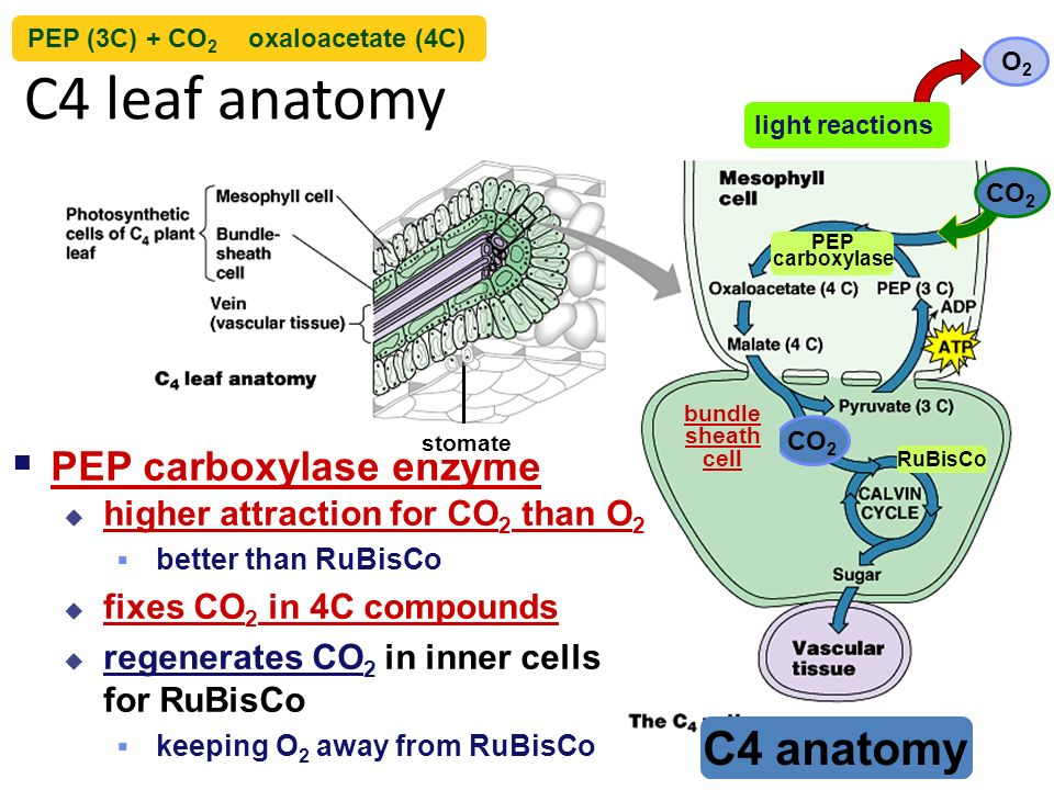 Fine C4 Leaf Anatomy Image Collection - Anatomy And Physiology ...