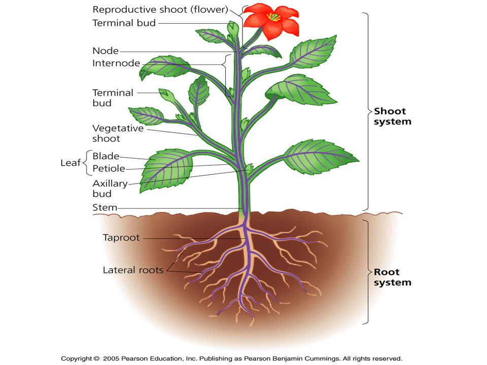 Secret Life of Plants Plant Anatomy. Terms Node – place where leaf ...
