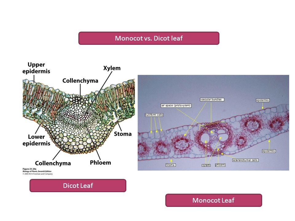 The shoot system ii: the form and structure of leaves ppt video.