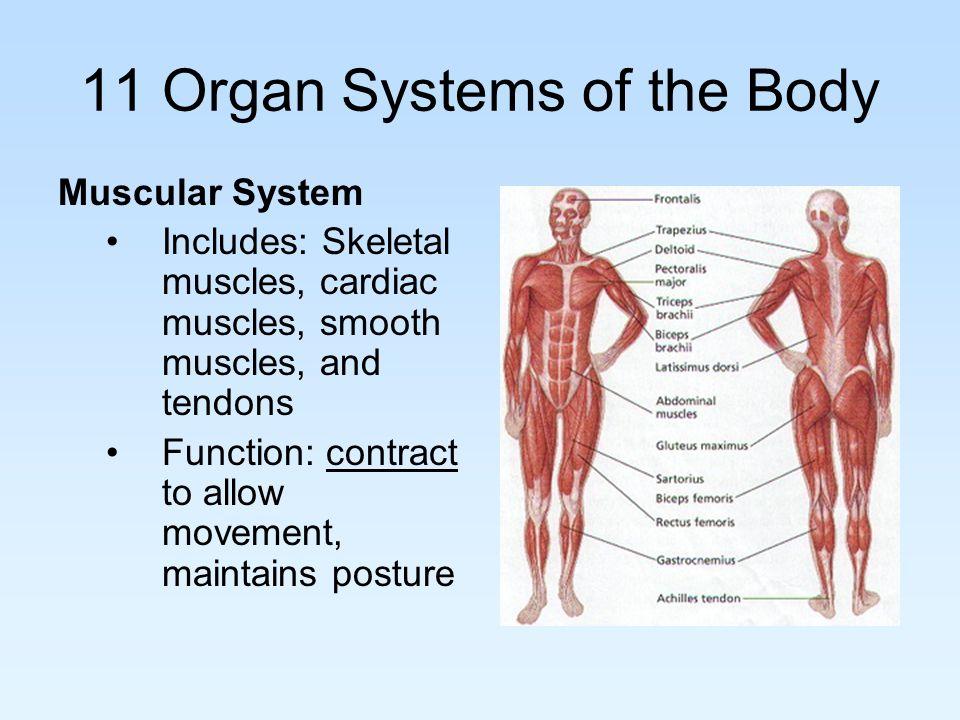 Ap Unit 1 Body Organization 11 Organ Systems Of The Body