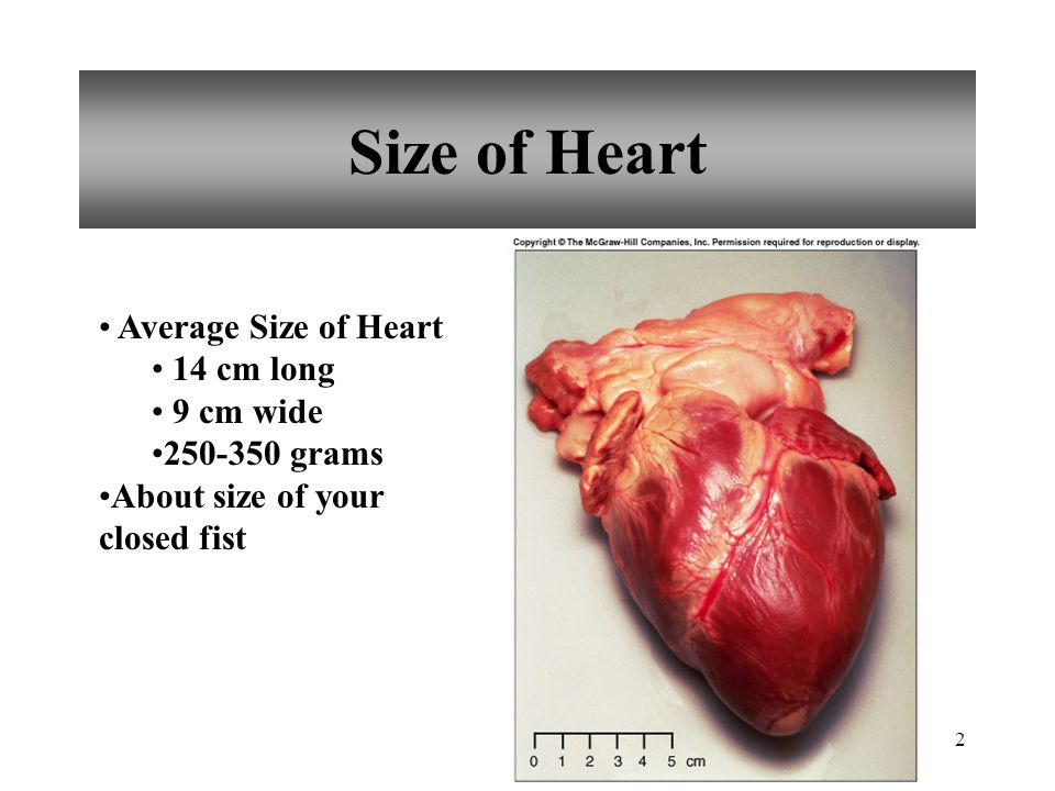 1 Chapter 15 Cardiovascular System. 2 Size of Heart Average Size of ...