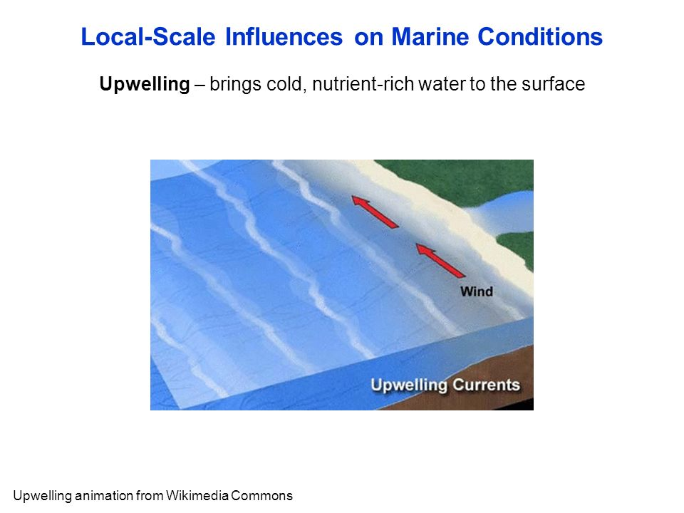 Upwelling – brings cold, nutrient-rich water to the surface Local-Scale Influences on Marine Conditions Upwelling animation from Wikimedia Commons