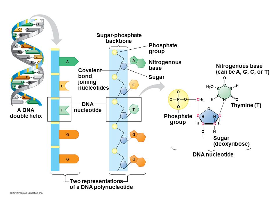 Nucleotide Diagram Act Diy Enthusiasts Wiring Diagrams