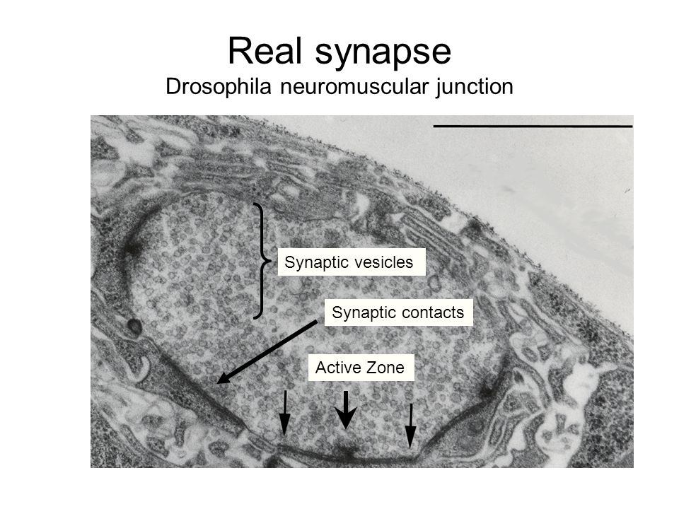 Real synapse Drosophila neuromuscular junction Synaptic contacts Active Zone Synaptic vesicles