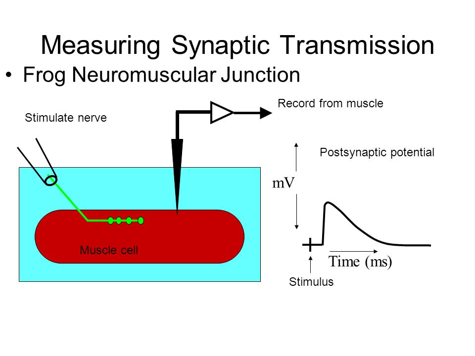 Measuring Synaptic Transmission Frog Neuromuscular Junction mV Time (ms) Postsynaptic potential Stimulus Stimulate nerve Record from muscle Muscle cell