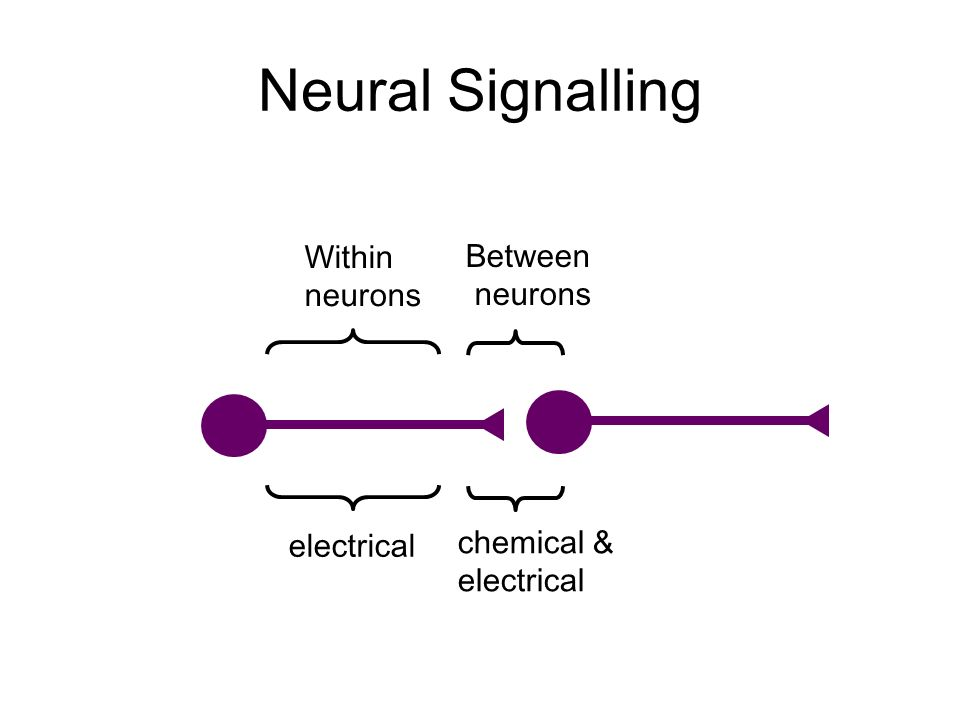 Within neurons Between neurons electrical chemical & electrical Neural Signalling