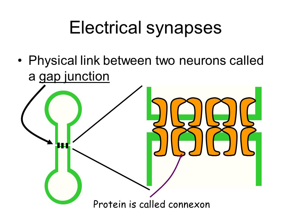 Electrical synapses Physical link between two neurons called a gap junction Protein is called connexon