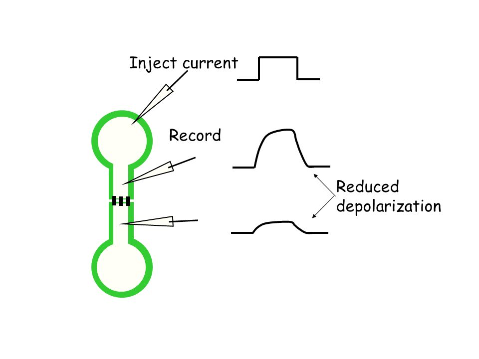 Inject current Record Reduced depolarization