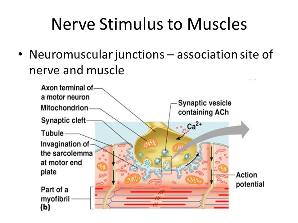 Neuromuscular Junction Nmj Neuromuscular Junction Neuromuscular